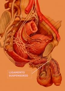 vasovaso-ligamento-0