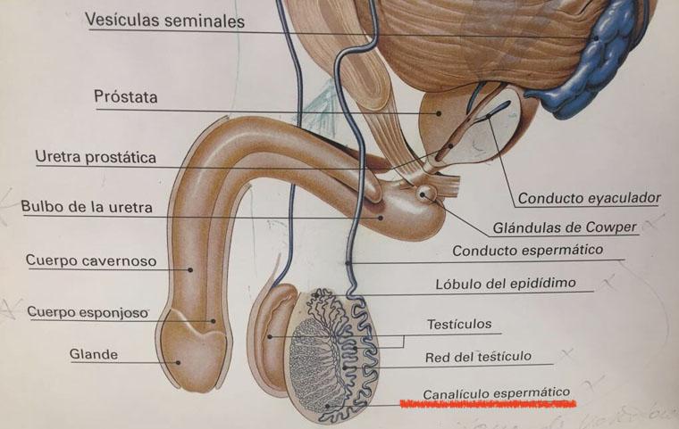 vasovasostomía | canículos espermáticos ok